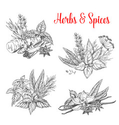 Sketch spices and herbs for farm market vector
