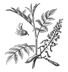 Peru Balsam vintage engraving vector image