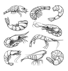fresh shrimps prawn hand drawn set vector image