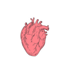 human heart anatomy drawing vector image