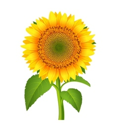 Sunflower with pedicle vector