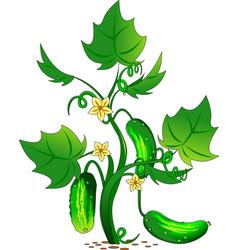 cucumber in the garden vector image