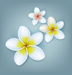 white plumeria flowers vector image