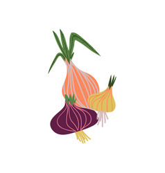 different onion varieties fresh vegetable organic vector image