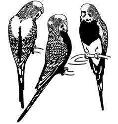 Budgerigars black white vector