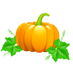 beautiful ripe orange pumpkin vector image
