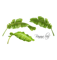 banana tropic leaves realistic images set vector image