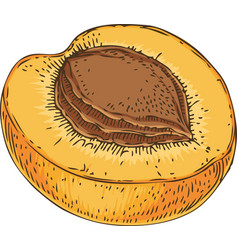Ripe apricot in cross section vector