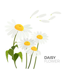 daisy flowers with white petals and yellow middle vector image