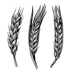 black hand drawn wheat ears sketch vector image