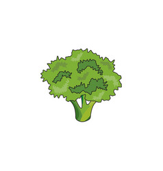 color broccoli icon vector image