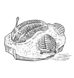 Preserved trilobite specimen fragment fossil vector