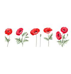 set different poppy flowers on white vector image
