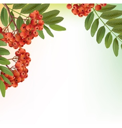 Background with bunch of rowan vector image