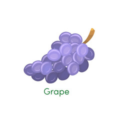 blue wet isabella wine grapes bunch isolated on vector image