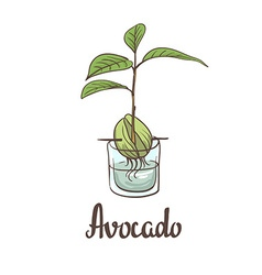 A seedling of avocado on a laboratory flask vector image