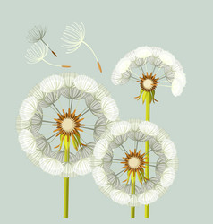 blowing dandelion flower with fragile flying parts vector image