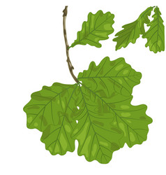 oak leaves vector image