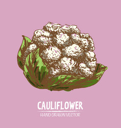 Digital detailed color cauliflower hand vector