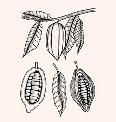 Engraved cocoa beans vector