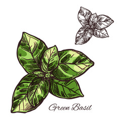 Green basil seasoning sketch plant icon vector