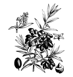 Common olive vintage engraving vector image vector image