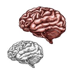 human organ brain sketch icon vector image