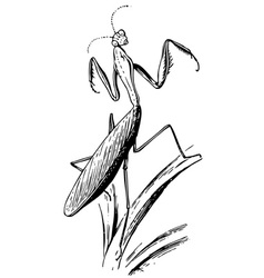Insect european mantis vector