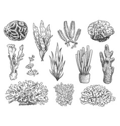Sketch seaweed ocean reef coral and water plant vector