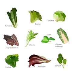 Set salad greens leafy vegetables salad icons vector