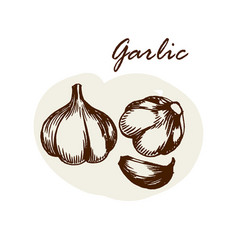 hand drawn garlic herbs and spices sketch vector image vector image
