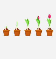 Tulip growth stage planting and growing tulips vector