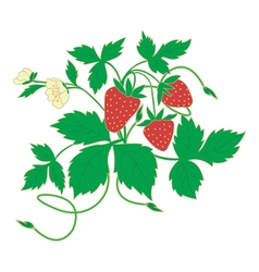 blossom strawberry vector image vector image