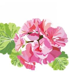 Delicate Pink geranium flowers vector image