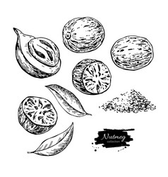 nutmeg spice drawing ground seasoning nut vector image