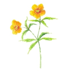 Buttercup yellow flower vector image vector image