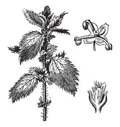 Stinging nettle vintage engraving vector image
