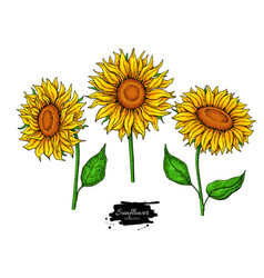 sunflower flower drawing set hand drawn vector image vector image