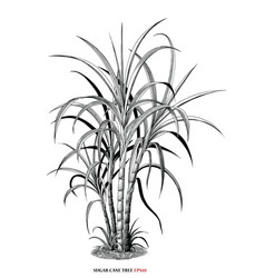 Sugar cane tree botanical vintage engraving style vector