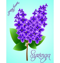 Spring background with beautiful blooming lilac vector image vector image