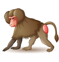baboon isolated on white backgroun vector image