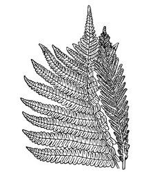 plant onoclea struthiopteris vector image