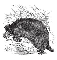 Platypus vintage engraving vector