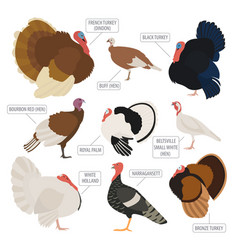 Poultry farming turkey breeds icon set flat design vector