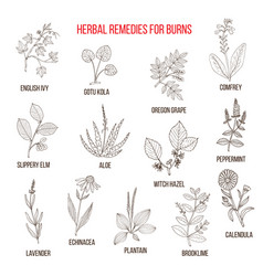collection of herbs for burns vector image