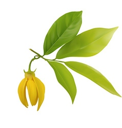 Ylang-ylang flower with leaf isolated vector image