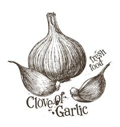 garlic logo design template fresh vector image