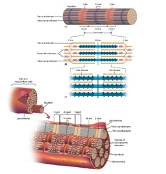 Muscle Fiber vector image vector image