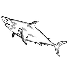 Shark engraving vector