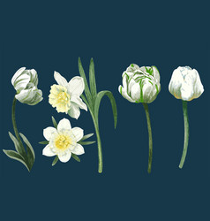 White spring flowers light tulips and narcissus vector